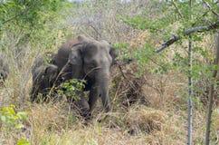 Elefante asiático da matriz e do miúdo Foto de Stock Royalty Free