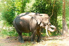 Elefante asiático em Burma Fotografia de Stock