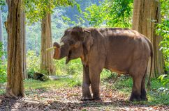 Elefante asiático en el bosque de Tailandia foto de archivo libre de regalías