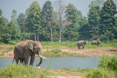 Elefante asiático en el bosque, surin, Tailandia imagenes de archivo