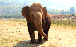 Elefante asiático en el parque de naturaleza del elefante de Chiang Mai de Tailandia Imágenes de archivo libres de regalías