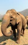 Elefante asiático en el parque de naturaleza del elefante de Chiang Mai de Tailandia Imagenes de archivo