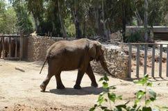 Elefante asiático en el parque zoológico Foto de archivo