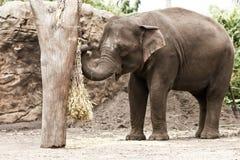 Elefante asiático en el parque zoológico, comiendo la paja. Foto de archivo libre de regalías