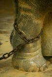 Elefante asiático en encadenamientos Foto de archivo