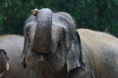 Elefante asiático en lluvia Foto de archivo