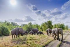 Elefante asiático en Minneriya, Sri Lanka Fotos de archivo libres de regalías