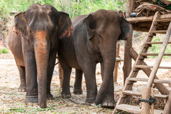 Elefante asiático en parque de naturaleza protegido cerca de Chiang Mai imagenes de archivo