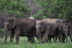 Elefante asiático en Sri Lanka fotografía de archivo
