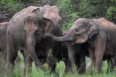 Elefante asiático en Sri Lanka foto de archivo