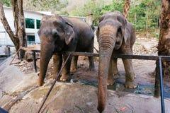 Elefante asiático en Tailandia fotos de archivo libres de regalías