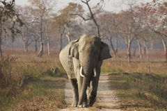 Elefante asiático enorme de Bull en Kaziranga Fotografía de archivo libre de regalías