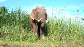 Elefante asiático es un mamífero grande almacen de video