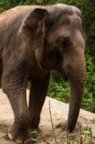 Elefante asiático gris en un primer del PARQUE ZOOLÓGICO Fotos de archivo libres de regalías