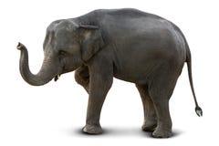 Elefante asiático isolado foto de stock royalty free