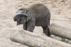 Elefante asiático joven que limpia su oído con el tronco Imágenes de archivo libres de regalías