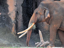 Elefante asiático masculino foto de stock