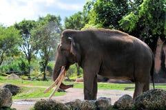 Elefante asiático masculino Foto de Stock Royalty Free