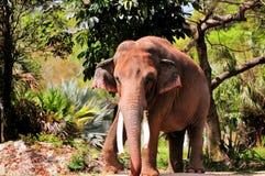 Elefante asiático masculino Foto de archivo