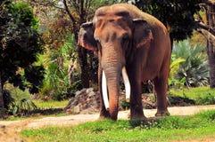 Elefante asiático masculino en parque zoológico fotos de archivo