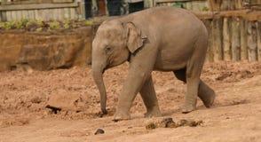 Elefante asiático - maximus del Elephas Foto de archivo
