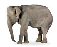 Elefante asiático - maximus do Elephas (40 anos) Foto de Stock