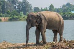 Elefante asiático na floresta, surin, Tailândia Foto de Stock Royalty Free
