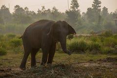 Elefante asiático na floresta, surin, Tailândia imagem de stock
