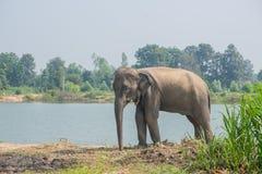 Elefante asiático na floresta, surin, Tailândia Imagens de Stock