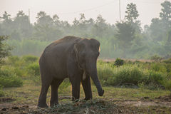Elefante asiático na floresta, surin, Tailândia fotografia de stock