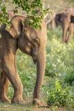 Elefante asiático novo Fotos de Stock