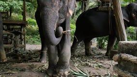 Elefante asiático que come el heno y el baile Fotografía de archivo