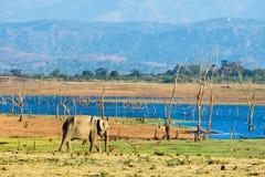 Elefante asiático solitario Imágenes de archivo libres de regalías