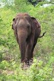 Elefante asiático, Sri Lanka Imagen de archivo