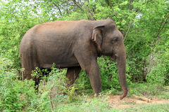 Elefante asiático, Sri Lanka Fotografía de archivo