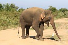 Elefante asiático y garceta de ganado en el parque nacional de Udawalawe Imágenes de archivo libres de regalías
