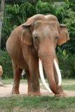 Elefante asiatico Fotografie Stock