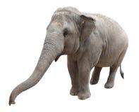 Elefante asiatico Immagini Stock Libere da Diritti