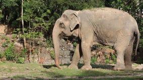 Elefante asiatico video d archivio