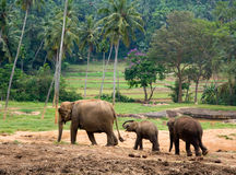 Elefante asiatico Immagini Stock