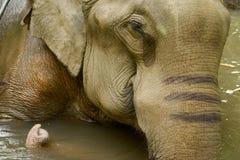 Elefante asiatico Fotografie Stock Libere da Diritti