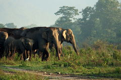 Elefante asiatico Fotografia Stock