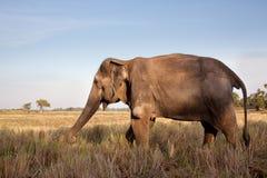Elefante asiatico che pasce nel tramonto caldo Fotografia Stock