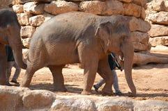 Elefante asiatico con lui addestratore Fotografie Stock Libere da Diritti