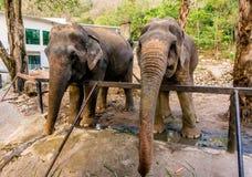 Elefante asiatico del fuoco selettivo nello zoo Fotografia Stock Libera da Diritti
