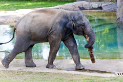 Elefante asiatico in giardino zoologico Immagini Stock