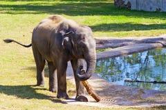 Elefante asiatico in giardino zoologico Fotografia Stock
