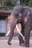 Elefante asiatico maschio Fotografie Stock Libere da Diritti