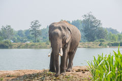 Elefante asiatico nella foresta, surin, Tailandia Fotografia Stock