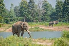 Elefante asiatico nella foresta, surin, Tailandia fotografie stock
